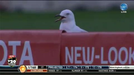 Seagull's miracle MCG recovery